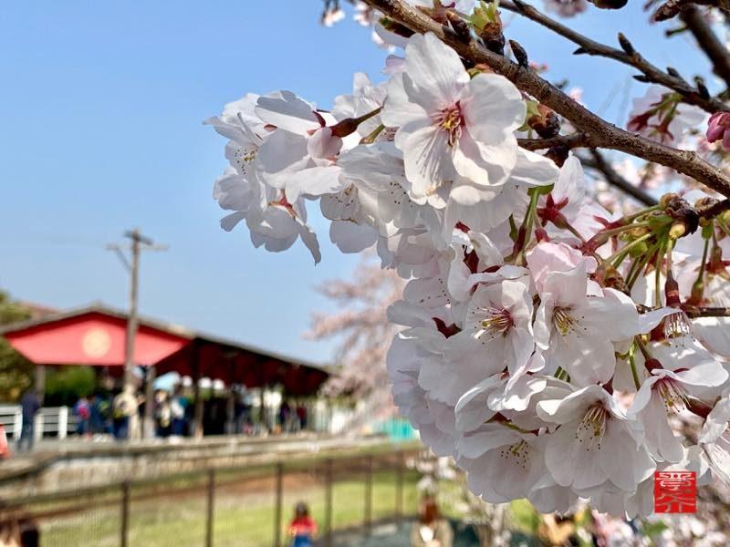 気賀駅 桜アップ