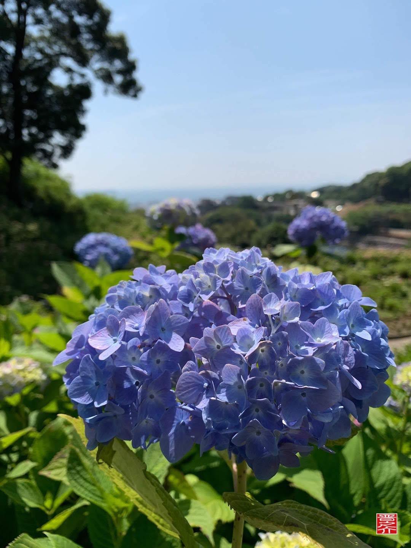 形原紫陽花画像