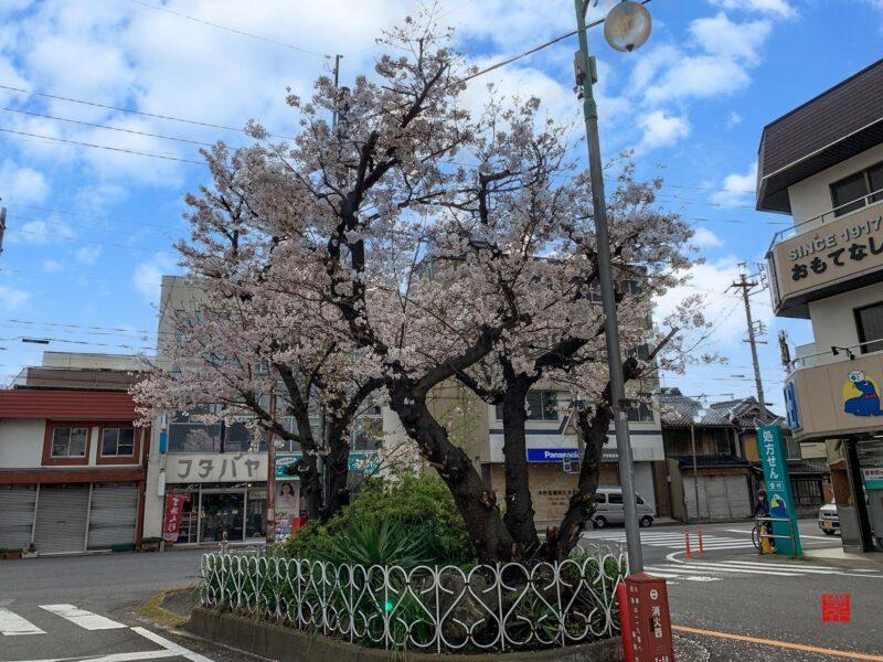 三谷商店街桜